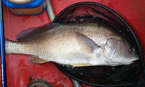 freshwater-drum-pennsylvania