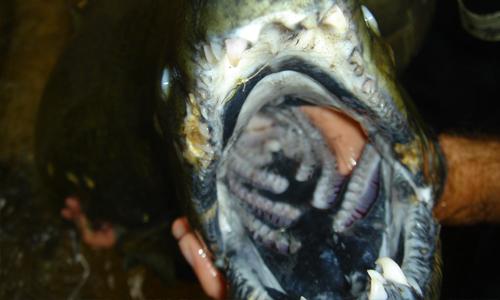 salmon-teeth