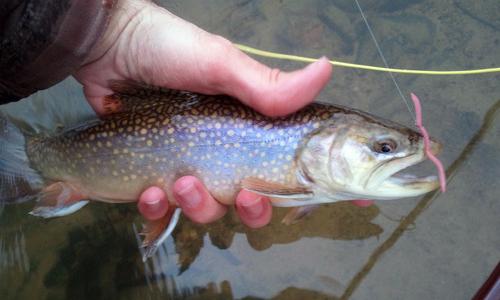 brook-trout-delayed-harvest-pennsylvania