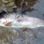 rainbow-trout-pink-berkley-worm