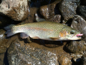 Rainbow trout on pink berkley trout worm
