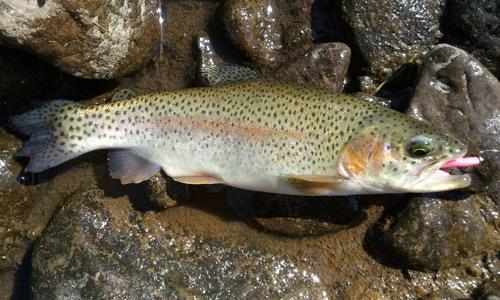 rainbow-trout-pink-worm