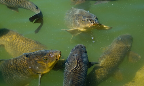 fishing common carp